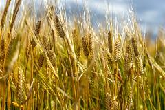 Barley Blowing in the Wind (Bracus Triticum) Tags: barley blowing wind アルバータ州 alberta canada カナダ 8月 八月 葉月 hachigatsu hazuki leafmonth 2019 reiwa summer august