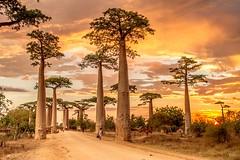 Fin de journée sur l'allée des baobabs (Fabrice L.) Tags: baobabs mada2017 morondave madagascar arbres trees majestueux soleil coucher lumière light sun lanscape cof086biz cof086dmnq cof086unic cof086lep cof086chri