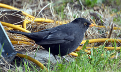 Blackbird Male (11) Taken through our Caravan window (John Carson Essex UK) Tags: blackbirdmale borntofly photographyvision wildbirds wildlife wallaseaisland riversideholidaypark supersix rainbowofnature