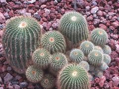 CA - 249, Parodia, Arganzuela  Hothouse,  Madrid (d.kevan) Tags: madrid arganzuelahotnouse stones cacti bplivia argentina paraguay uruguay bolivia brazil cactaceae parodiaschumanniana