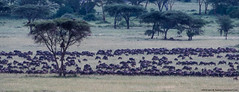 2019.06.07.3035 Great Migration (Explored) (Brunswick Forge) Tags: 2019 grouped tanzania africa serengeti serengetinationalpark bird birds outdoor outdoors animal animals animalportraits wildlife nature nikkor200500mm summer winter nikond500 inmotion day cloudy clear sky air explored