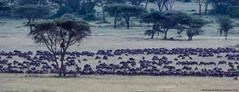 2019.06.07.3035 Great Migration Nyarboro (Explored) (Brunswick Forge) Tags: 2019 grouped tanzania africa serengeti serengetinationalpark bird birds outdoor outdoors animal animals animalportraits wildlife nature nikkor200500mm summer winter nikond500 inmotion day cloudy clear sky air explored