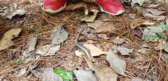 Camping Trip (heytampa) Tags: hiking camping campground statepark olenostatepark reptile salamander