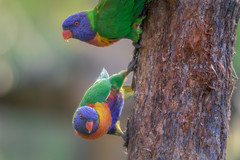 I see you (Whitejellybeanz) Tags: rainbowlorikeets tree parrots australian
