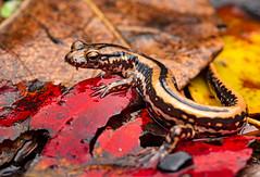 Three-lined Salamander (cre8foru2009) Tags: threelinedsalamander euryceaguttolineata amphibian salamander nature macro