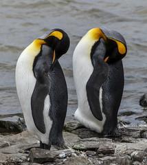 King Penguins (Stephen P. Johnson) Tags: cruise event zaandamcruise falklandislands southamerica places bluffcove penguin birds king
