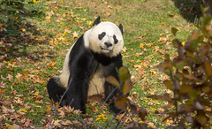 Bye Bye Bei Bei (Tim Brown's Pictures) Tags: washingtondc nationalzoo smithsonian zoo zoos park outdoors rockcreek rainbowcolors giantpanda panda mammal beibei 4yearoldpanda farewell meixieng motherpanda autumn fall colors vistitors washington dc unitedstates