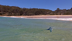 Unwanted company (OzzRod) Tags: gopro hero7black coast shoreline sea stinger bluebottle pacificmanowar beach barraggabay nswfarsouthcoast