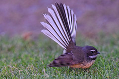 Fantail (bevanwalker) Tags: fantail spring bird d750 nikon 300mmf28tc17e11 insects lawn nesting fresh light time photography outdoor native nature wildlife pattern tail image bugs watcher sunshine fun landscape outside happy 2019 newzealand