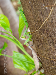 Mexican Standoff - Mantis Style II (umijin) Tags: arthropoda giantasianmantis guahan guam hexapod hierodulapatellifera insecta mangilao mantidae prayingmantis territoryofguam usa uniiversityofguam animal arthropod insect ハラビロカマキリ