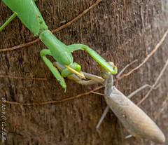 Mexican Standoff - Mantis Style III (umijin) Tags: arthropoda giantasianmantis guahan guam hexapod hierodulapatellifera insecta mangilao mantidae prayingmantis territoryofguam usa uniiversityofguam animal arthropod insect ハラビロカマキリ