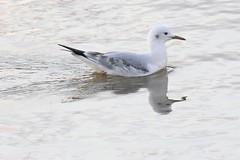 Slender-billed Gull (Roy Lowry) Tags: slenderbilledgull salina malta chroicocephalusgenei larusgenei
