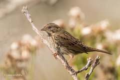 Song Sparrow? 502_1464.jpg (Mobile Lynn) Tags: birds songsparrow perched sparrow sparrows nature bird fauna melospizamelodia oscines passeri passeridae passeriformes songbird songbirds wildlife chatham massachusetts unitedstatesofamerica