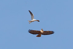 White-tailed Kite vs Red-tailed Hawk (X9B_6733-1) (Eric SF) Tags: whitetailedkite kite redtailedhawk hawk raptor coyotehillsregionalpark fremont ca