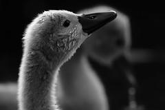 'Twinset' (Jonathan Casey) Tags: swan cygnet baby young fluffy black white monochrome wildlife nikon d850 400mm f28 vr whitlingham norfolk uk broads