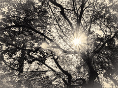 杲 2019 - 1 - 08 (Stéphane Barbery) Tags: akiraka arbre japan japon kyoto momiji soleil 京都 日本 杲