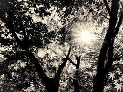 杲 2019 - 1 - 09 (Stéphane Barbery) Tags: akiraka arbre japan japon kyoto momiji soleil 京都 日本 杲