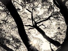 杲 2019 - 1 - 15 (Stéphane Barbery) Tags: akiraka arbre japan japon kyoto momiji soleil 京都 日本 杲