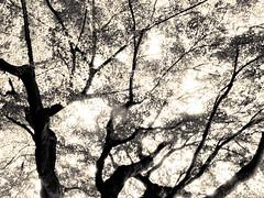 杲 2019 - 1 - 22 (Stéphane Barbery) Tags: akiraka arbre japan japon kyoto momiji soleil 京都 日本 杲