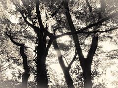 杲 2019 - 1 - 24 (Stéphane Barbery) Tags: akiraka arbre japan japon kyoto momiji soleil 京都 日本 杲