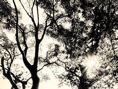 杲 2019 - 1 - 25 (Stéphane Barbery) Tags: akiraka arbre japan japon kyoto momiji soleil 京都 日本 杲