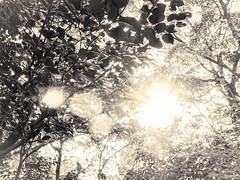 杲 2019 - 1 - 27 (Stéphane Barbery) Tags: akiraka arbre japan japon kyoto momiji soleil 京都 日本 杲