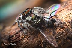 Maratus digitalus (F.Hendre) Tags: maratusdigitalus peacockspider jumpingspider spider arachnid macro stack