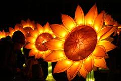 Glow 2019 (Zonnebloemen) (ToJoLa) Tags: 2019 canon canoneos60d herstkleuren herfst noordbrabant glow zonnebloem eindhoven glow2019 kleuren color