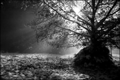wenns denn wieder kalt wird 2 (jo.sa.) Tags: winter schnee gegenlicht wald bw sw analog schwarzweiss analogefotografie schwarzweissfotografie monochrom kleinbild