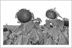 ° °  sunflowers   ° ° (christikren) Tags: austria bw christikren grey gray monochrome sunflowers nature field sunflowerfield