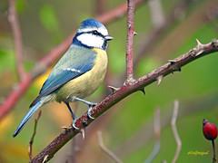 Herrerillo común (Cyanistes caeruleus) (60) (eb3alfmiguel) Tags: aves passeriformes insectívoros paridae herrerillo común cyanistes caeruleus