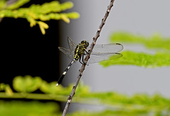 Grasshopper (Anowarul Haq) Tags: beautifulbangladesh dhaka urbannature nature grasshopper ফরিঙ