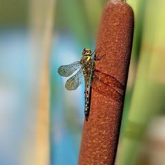 20190904_396c (novofotoo) Tags: aeshnamixta anisoptera braun groslibellen grün herbstmosaikjungfer insekten libelle mosaikjungfern natur nature tiere animals dragonflies green insects