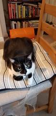Bella (M0JRA) Tags: cats pets cat animals rescue