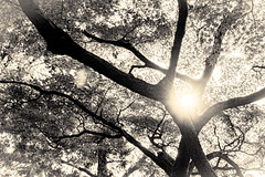 杲 2019 - 1 - 01 (Stéphane Barbery) Tags: akiraka arbre japan japon kyoto momiji soleil 京都 日本 杲
