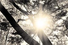 杲 2019 - 1 - 02 (Stéphane Barbery) Tags: akiraka arbre japan japon kyoto momiji soleil 京都 日本 杲