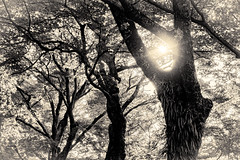 杲 2019 - 1 - 04 (Stéphane Barbery) Tags: akiraka arbre japan japon kyoto momiji soleil 京都 日本 杲