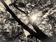 杲 2019 - 1 - 14 (Stéphane Barbery) Tags: akiraka arbre japan japon kyoto momiji soleil 京都 日本 杲