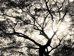 杲 2019 - 1 - 17 (Stéphane Barbery) Tags: akiraka arbre japan japon kyoto momiji soleil 京都 日本 杲