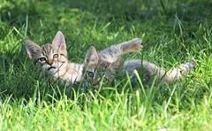 Kittens playing - Sardinia (En memoria de Zarpazos, mi valiente y mimoso tigre) Tags: kitten kittens brothers friends playing grass garden tabby tabbykitten gatitos cat catsplaying sardegna sardinia cerdeña