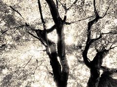 杲 2019 - 1 - 23 (Stéphane Barbery) Tags: akiraka arbre japan japon kyoto momiji soleil 京都 日本 杲