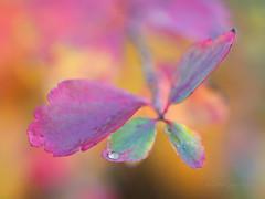 Neon shine (Karsten Gieselmann) Tags: 60mmf28 blätter bokeh dof em1markii herbst mzuiko microfourthirds olympus schärfentiefe tropfen wasser autumn droplets drops elements fall kgiesel leaf leaves m43 mft water