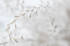 Minimalism (Astral Will) Tags: plant ornamentalgrass seed minimalism minimalist abstract macro hss sliderssunday dof depthoffield