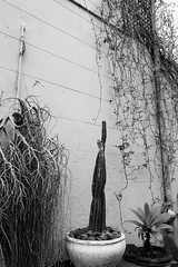 Cactus (p4r4n01d) Tags: redfern photowalk refernphotowalk2019 worldwidephotowalk