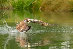 Osprey skimming the water with a catch. Taken near Rutland water (geoffmahiques) Tags: osprey