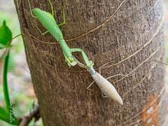 Mexican Standoff - Mantis Style I (umijin) Tags: arthropoda giantasianmantis guahan guam hexapod hierodulapatellifera insecta mangilao mantidae prayingmantis territoryofguam usa uniiversityofguam animal arthropod insect ハラビロカマキリ