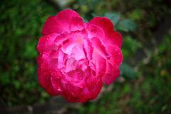 Red Rose (sumi!) Tags: rose tokyo flower japan yoyogipark shibuyaku red