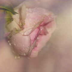 To rose-lovers (Birgitta Sjostedt-in bed with flu.) Tags: rose plant flower garden roscard card flowercard texture bokeh beauty fineart pink soft closeup
