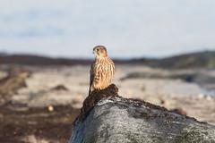 Merlin at Værøy S24A7453 (grebberg) Tags: september 2019 værøy lofoten nordland norway bird merlin dvergfalk falcocolumbarius falcon falco raptor birdofprey