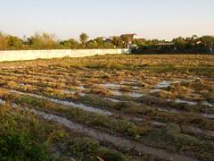 Combined wet field 1 (SierraSunrise) Tags: thailand farming agriculture isaan nongkhai phonphisai rice grain harvest poaceae ricepaddy harvesting paddyrice esarn